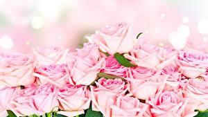 Фото Розы Розовые цветок