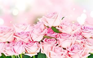 Фото Роза Розовая цветок