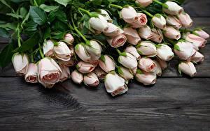 Картинки Роза Розовая цветок