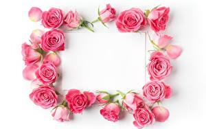 Обои Розы Розовых Шаблон поздравительной открытки Белым фоном Цветы