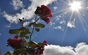 Обои Розы Небо Бордовый Солнце Цветы