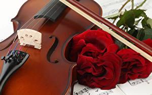 Фото Роза Скрипка Бордовый цветок