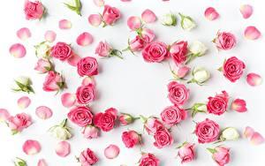 Картинки Розы Белый фон Лепестки Розовый Цветы
