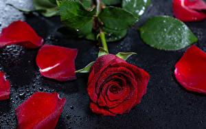 Картинки Розы Бордовый Лепестки Капельки цветок