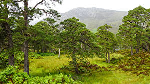 Картинка Шотландия Гора Дерево Траве Achagate Природа