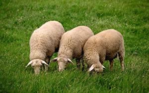Фотографии Овцы Траве Втроем животное