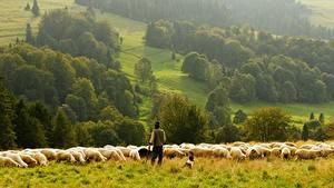 Обои для рабочего стола Овцы Луга Стадо Животные