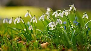 Фотографии Подснежники Размытый фон Трава Белых цветок