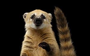 Фотографии Черный фон Хвост Лап South American coati животное