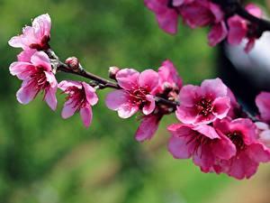 Фото Весенние Цветущие деревья Ветвь Розовый Сакура цветок