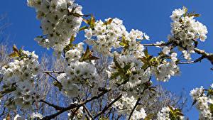 Фото Весна Цветущие деревья Вблизи Ветки Apple tree Природа