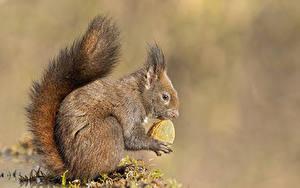 Картинки Белка Орехи Грецкий орех Хвоста Сбоку животное