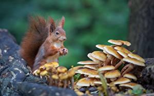 Фотография Белки Грызуны Грибы природа Размытый фон Животные