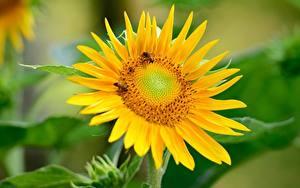 Обои Подсолнухи Пчелы Насекомые Размытый фон Желтых Цветы
