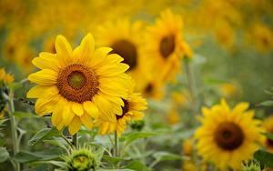 Фотографии Подсолнухи Размытый фон Желтый цветок
