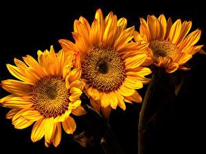 Картинка Подсолнухи Крупным планом Черный фон Три цветок