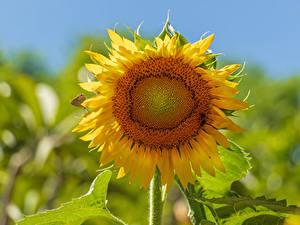 Фотографии Подсолнухи Крупным планом Боке цветок