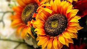 Фото Подсолнухи Крупным планом Оранжевые цветок