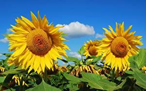 Картинки Подсолнечник Поля Желтые Цветы