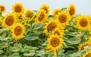 Картинки Подсолнухи Много Поля Желтый Цветы