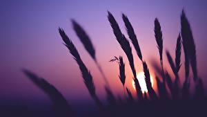Фотографии Рассвет и закат Колоски Силуэты Солнце Природа
