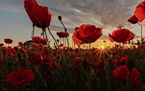 Обои Рассветы и закаты Поля Мак Крупным планом Много Лучи света Солнца Природа Цветы