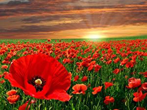 Обои для рабочего стола Рассветы и закаты Поля Маки Много Красный Природа Цветы