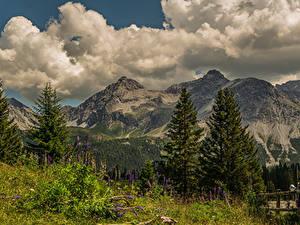 Фотографии Швейцария Гора Люпин Пейзаж Альп Облачно Ели Arosa, Grisons