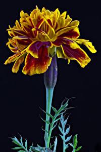 Обои Бархатцы Вблизи На черном фоне цветок