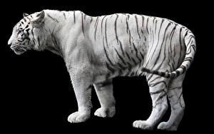 Фотографии Тигры Черный фон Белый Сбоку Животные