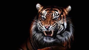 Обои Тигр Клыки Злость На черном фоне Морда Усы Вибриссы Животные