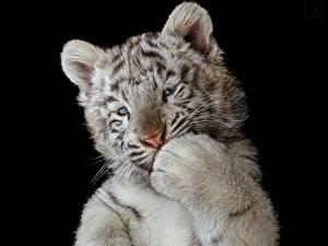 Фотографии Тигры Детеныши Белый Черный фон Лапы Животные