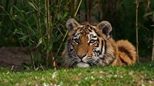 Обои Тигры Смотрит Животные