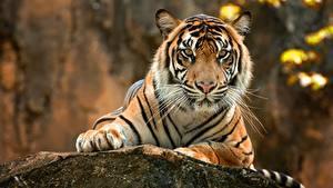 Фото Тигры Взгляд Лапы Усы Вибриссы Животные