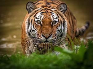 Картинка Тигры Смотрят Морды Животные