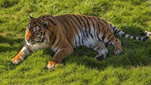 Фото Тигры Трава Лежа Лапы Жирная животное