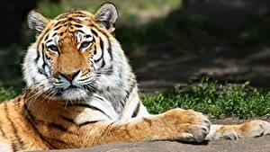 Фотография Тигр Лап Смотрит животное
