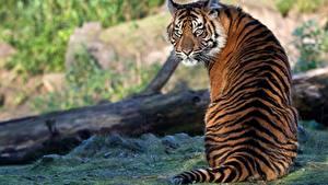 Фотография Тигры Сидящие Спина Сзади Позирует животное