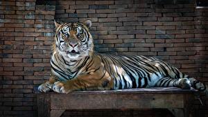 Обои для рабочего стола Тигр Стенка Стола Лежа животное