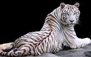 Фото Тигры Белый Черный фон Животные