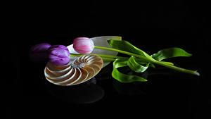 Фото Тюльпан На черном фоне Втроем цветок