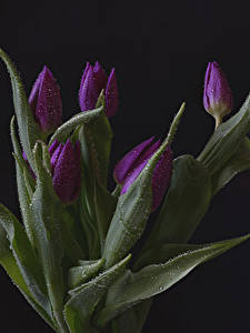 Фотография Тюльпаны На черном фоне Фиолетовая Капля Цветы