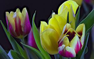 Обои Тюльпаны Крупным планом Цветы