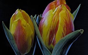 Фотографии Тюльпаны Вблизи Черный фон Цветы