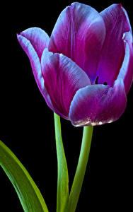 Обои Тюльпаны Крупным планом Черный фон цветок