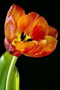 Фото Тюльпаны Вблизи Черный фон Цветы