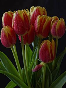 Картинки Тюльпаны Вблизи Черный фон Капли Цветы