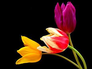 Обои Тюльпаны Крупным планом На черном фоне Втроем цветок