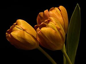 Картинка Тюльпан Вблизи Черный фон Три Оранжевый цветок