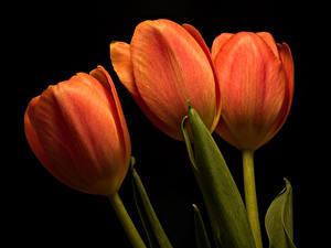 Фотография Тюльпаны Крупным планом На черном фоне Трое 3 Оранжевые Цветы
